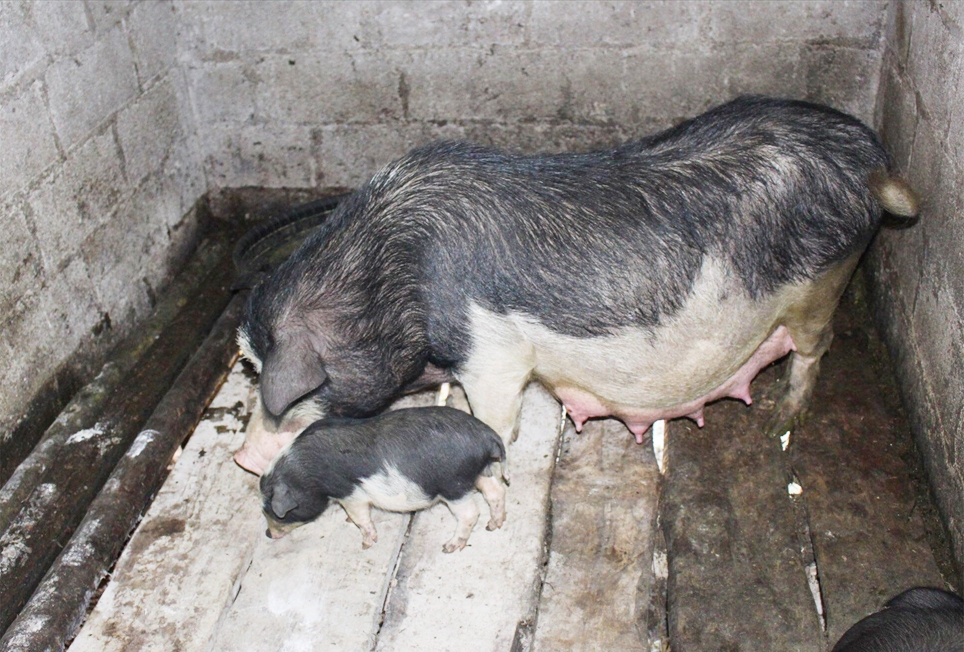 Giống lợn đen Lũng Pù - Đặc sản ở cao nguyên đá Hà Giang
