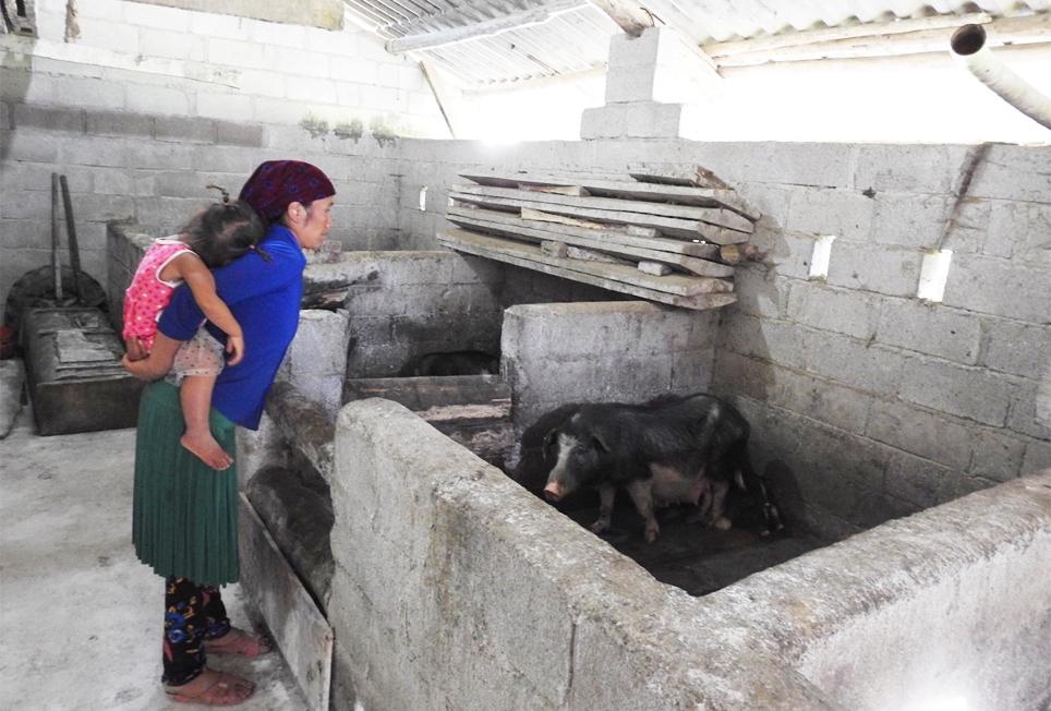 Giống lợn đen Lũng Pù góp phần thay đổi cuộc sống người dân ở Mèo Vạc