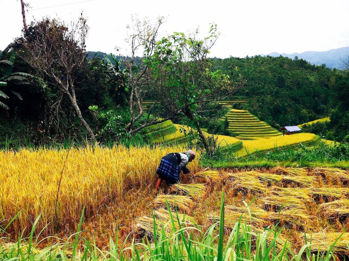 Trên một khoảnh ruộng đã chín ở xã Dế Xu Phình, người phụ nữ Mông miệt mài gặt lúa