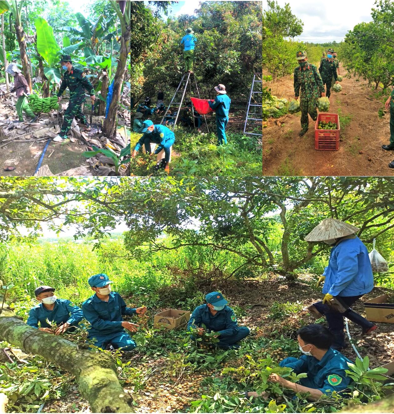 Dưới nắng nóng gay gắt, tuổi trẻ lực lượng vũ trang tỉnh Bình Phước vẫn hăng hái giúp người dân địa phương thu hoạch nông sản.