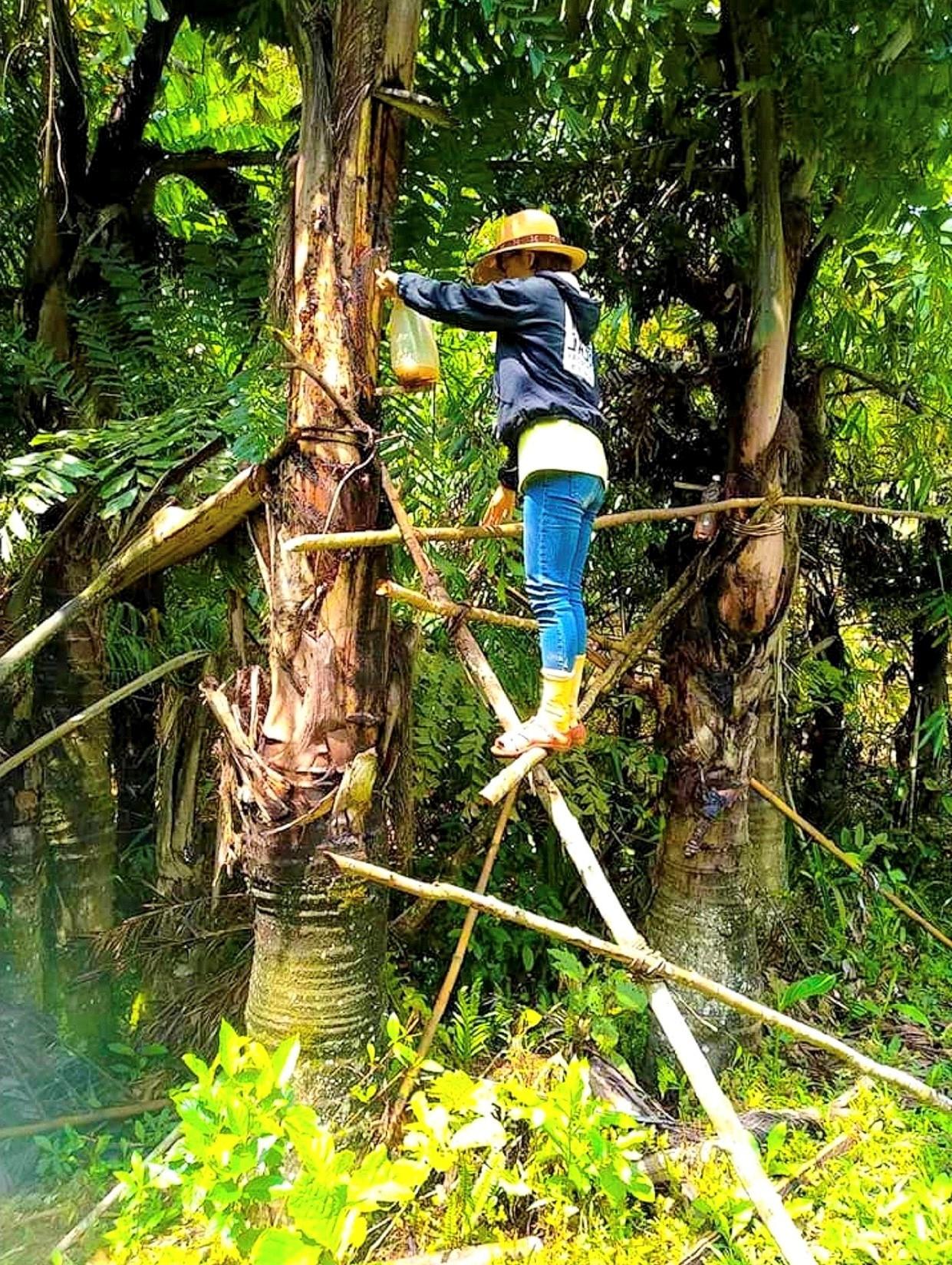 Một phụ nữ Cơ Tu trèo lên cây t'rđin để hứng rượu