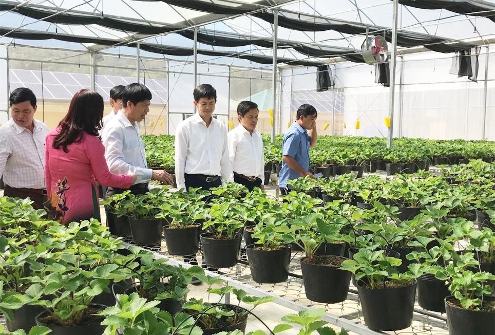 Mô hình trồng cây dâu tây trên đèo Sa Mù huyện Hướng Hóa, Quảng Trị thu hút khách tham quan và người dân đến học kinh nghiệm. (Ảnh Đình Phục)