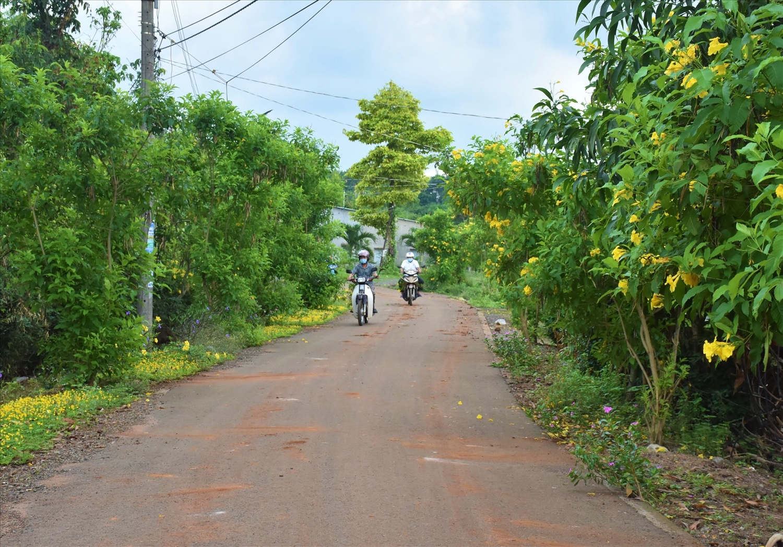 Hoa hoàng yến nở rực rỡ hai bên đường vàoấp Tân Thuận (xã Long Tân, huyện Đất Đỏ).