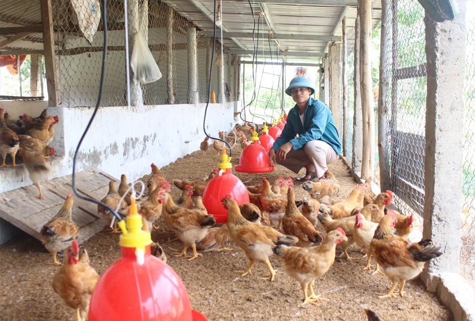 Anh Trần Xuân Hiếu khởi nghiệp thành công với mô hình chăn nuôi gà