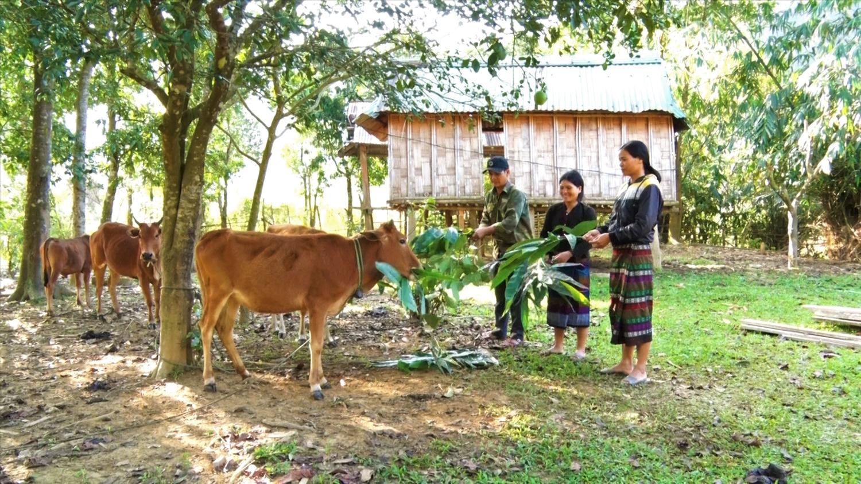 Người dân Hướng Lập tập trung sản xuất , chăn nuôi bò đem lại nguồn thu nhập ổn định cho gia đình