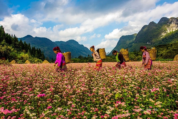 Nhiều năm trở lại đây, hoa tam giác mạch trên Cao nguyên đá Đồng Văn đã trở thành một thương hiệu du lịch của tỉnh Hà Giang. Không chỉ là loài hoa dùng làm lương thực lâu đời của đồng bào các dân tộc thiểu số nơi đây, tam giác mạch còn mang lại vẻ đẹp thơ mộng, tạo nên nét độc đáo nơi vùng cao núi đá