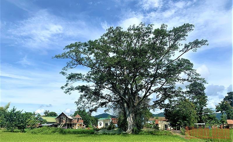 Ở những buôn cổ bên hồ Lắk có những cây cổ thụ quanh năm tỏa bóng mát