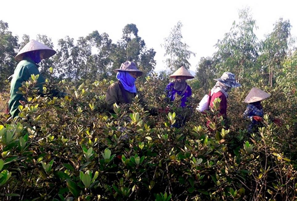 Gia đình anh Phan Thanh Nhàn phải thuê thêm nhân công để hái sim