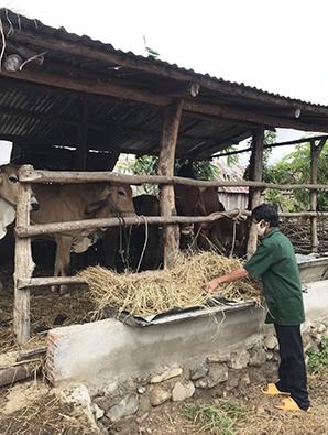 Anh Đinh Plich (làng Hway, xã Hà Tam, huyện Đak Pơ) chăm sóc con bò giống được thụ hưởng từ Dự án