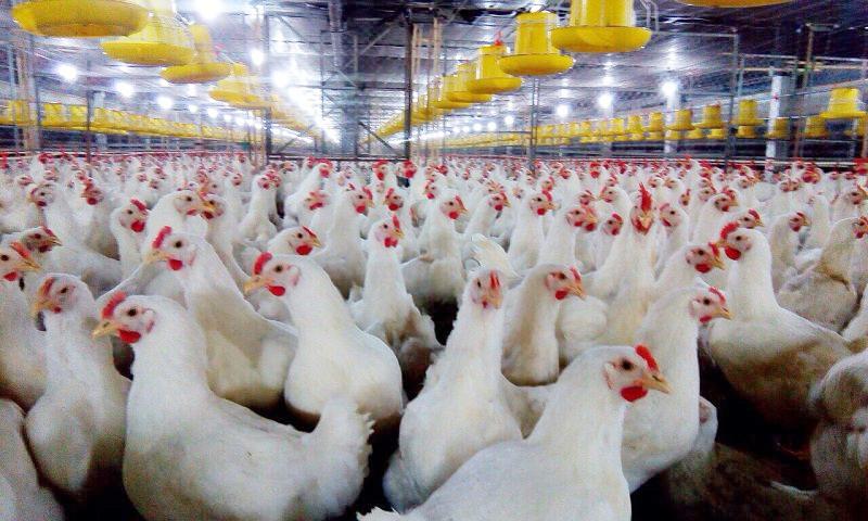 Nυôi gà thịt nhốt chuồng đang dần trở thành một xu hướng phát triển kinh tế mới của bà con nông dân. Ảnh minh họa