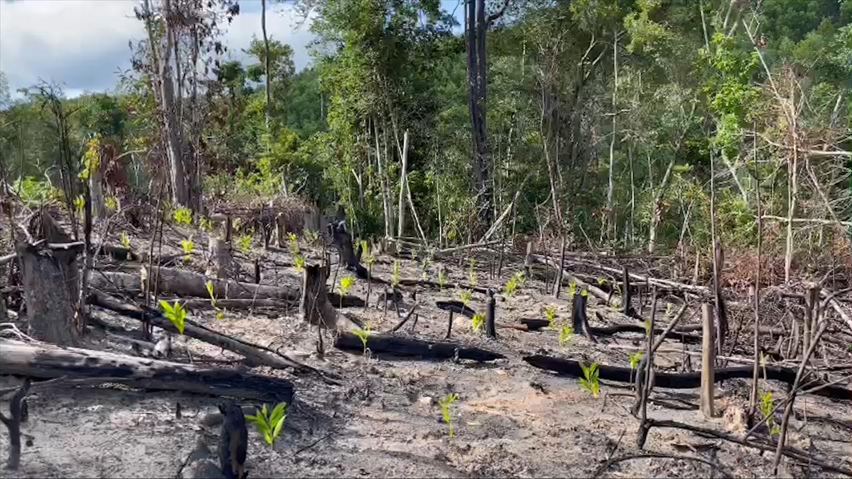 Rừng tự nhiên bị phá đến đâu thì cây keo mọc lên đến đó