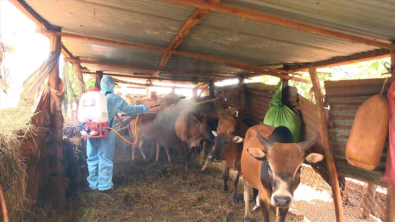 Cán bộ thú y phun thuốc tiêu độc khử trùng khu chăn nuôi trâu, bò của người dân