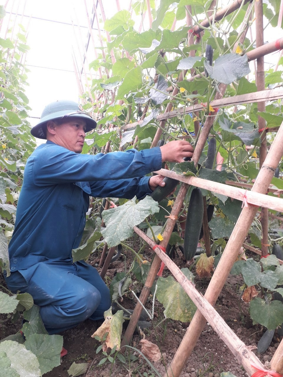Mỗi sào đất trồng dưa lưới cho thu hoạch 2 tấn quả, mang lại nguồn thu lãi ước từ 18 đến 20 triệu đồng sau khi đã trừ chi phí