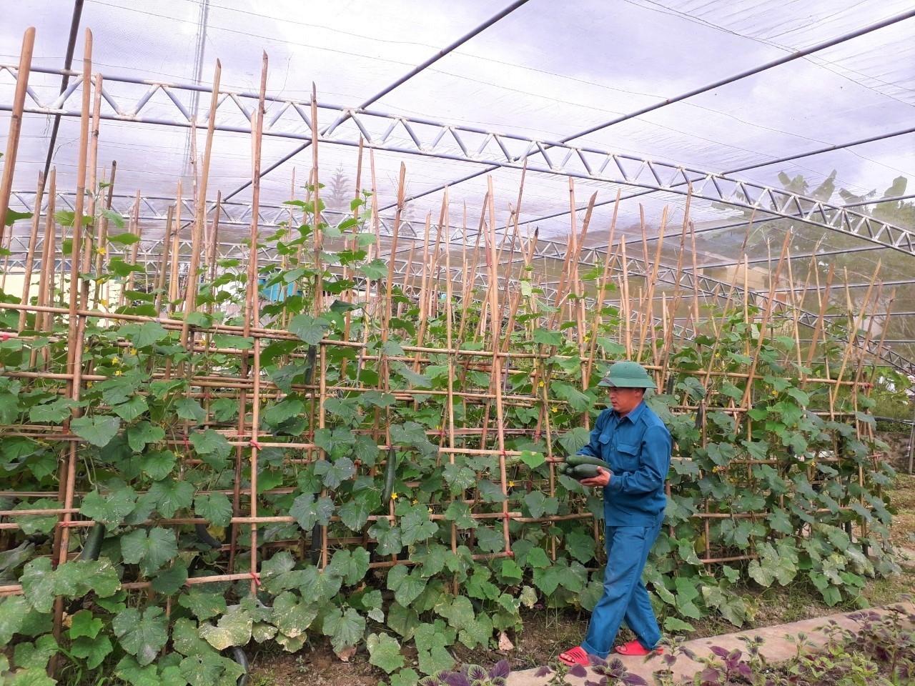 Mô hình trồng dưa chuột trong nhà lưới của Phòng Chính trị, Đoàn KT- QP Quân khu 4.