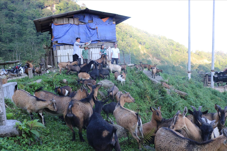 Đàn dê của gia đình anh Chòi Văn Lụa, dân tộc Dao ở xã Hồ Thầu, huyện Hoàng Su Phì (Hà Giang)