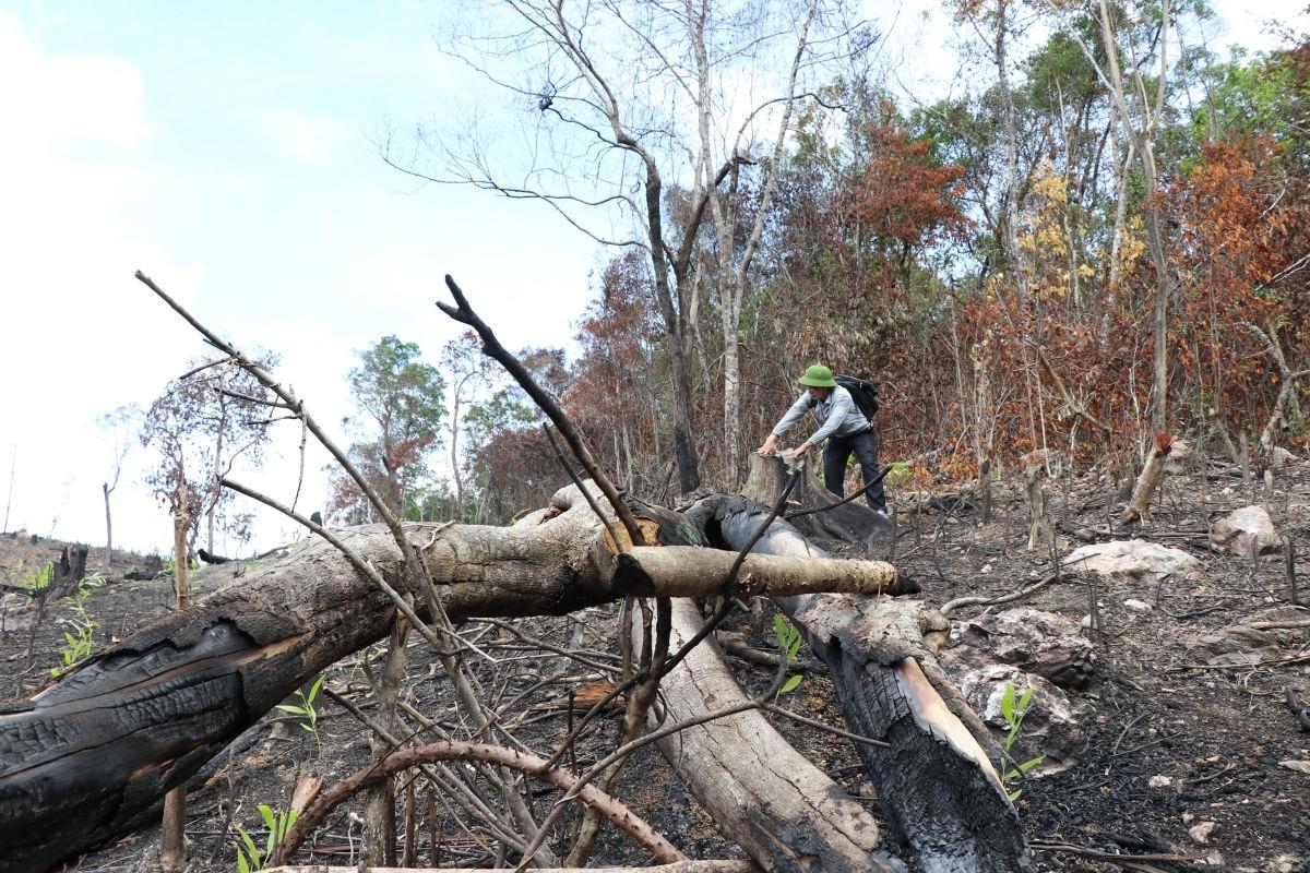 Nhiều cây rừng tự nhiên có đường kính lớn trong KDT lịch sử Hội trường Mùa Xuân bị đốn hạ không thương tiếc