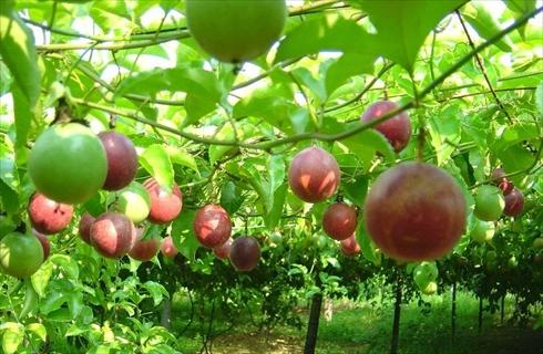 Nhiều nông dân trên địa bàn tỉnh Gia Lai đang phấn khởi khi thu hoạch cây chanh dây vì vừa được mùa, vừa được giá.