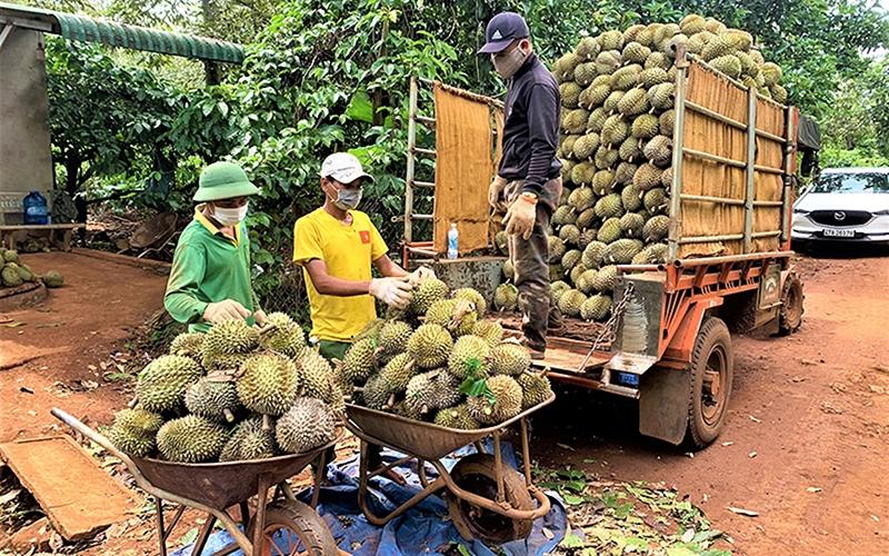 Sầu riêng tại Đắk Lắk đang vào vụ thu hoạch
