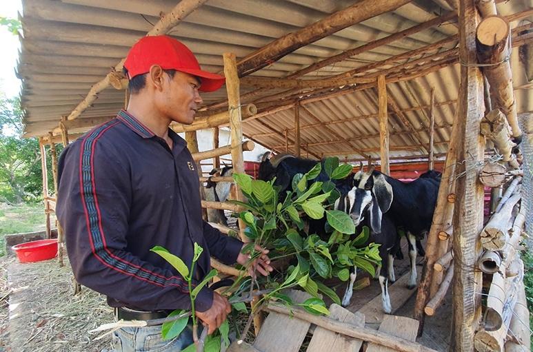 Anh Hồ Minh chăm sóc đàn dê của gia đình