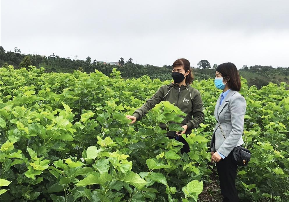 Nông dân huyện Đắk G'long chuyển đổi trồng dâu