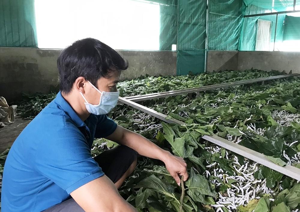 Kinh tế gia đình anh Phạm Văn Hiệp khá lên nhờ mô hình trồng dâu nuôi tằm