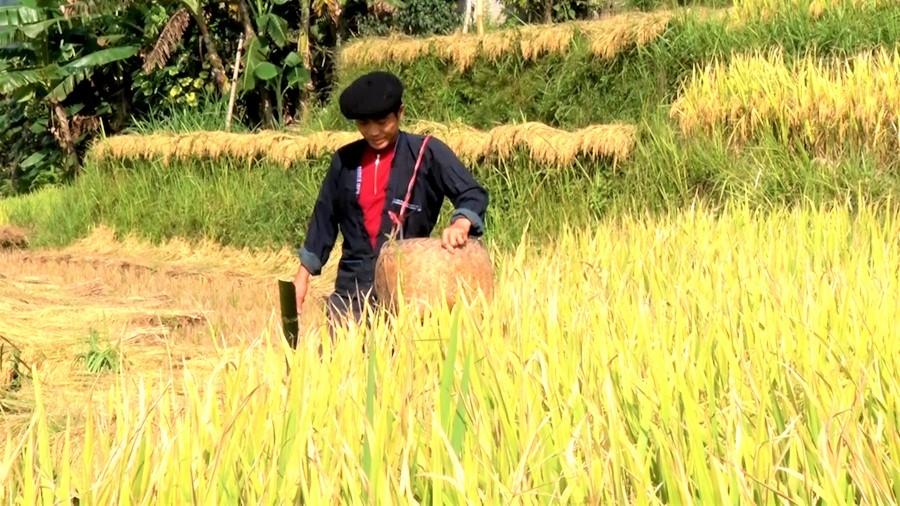 Đồng bào Nùng Hà Giang vào vụ gặt (Ảnh minh họa)