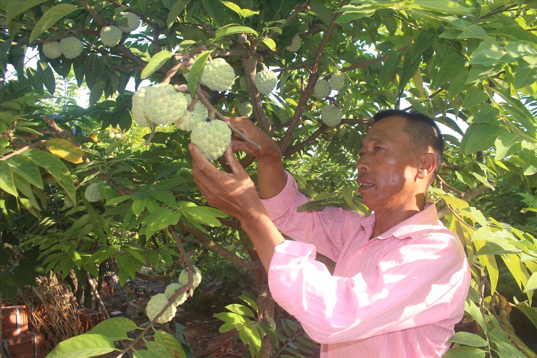 Gia đình ông Vũ Văn Lại trồng hơn 2.000 m2 na bở, thu nhập trên 200 triệu đồng/năm