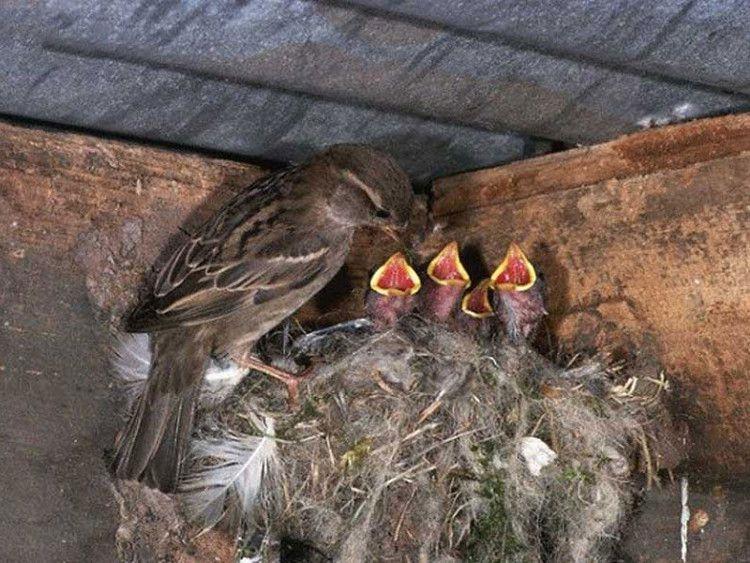 Kỹ thuật nuôi chim sẻ sinh sản mang lại hiệu quả kinh tế cao