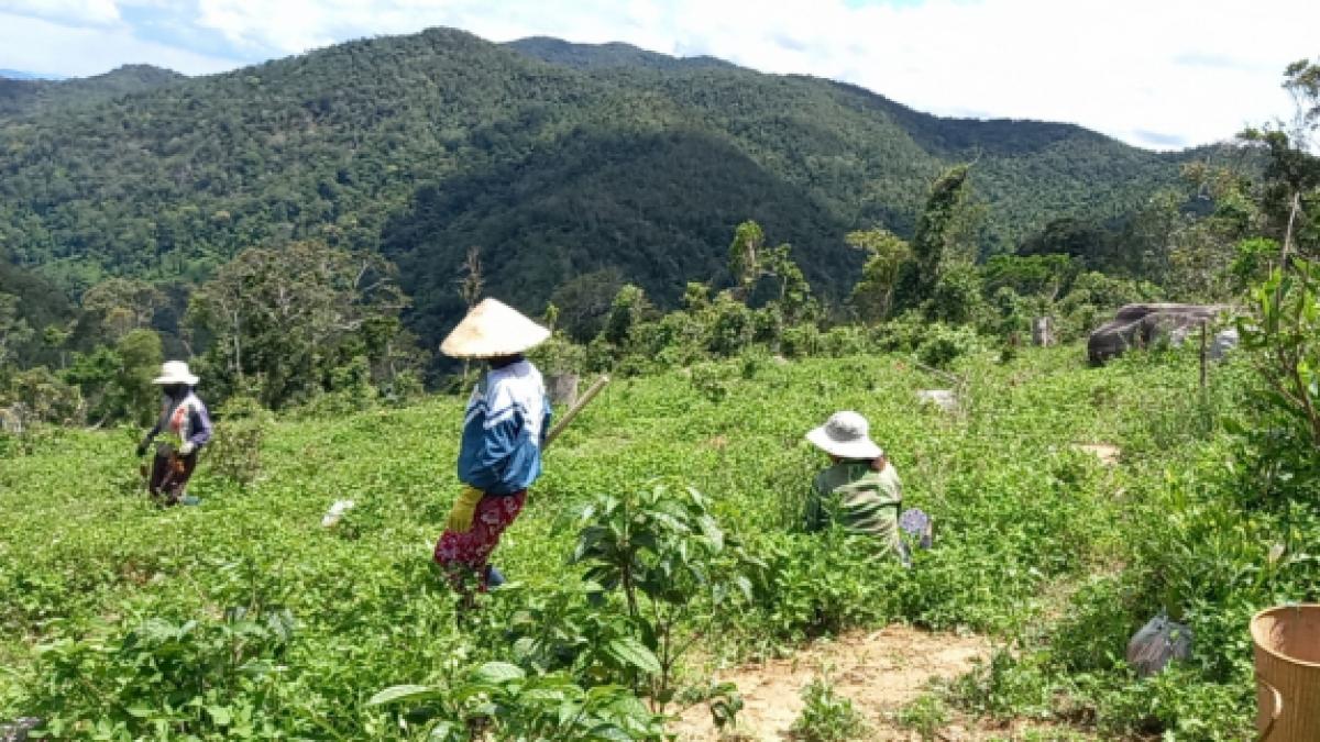 Người dân xã Song An, thị xã An Khê (Gia Lai), sản suất trên đất rừng
