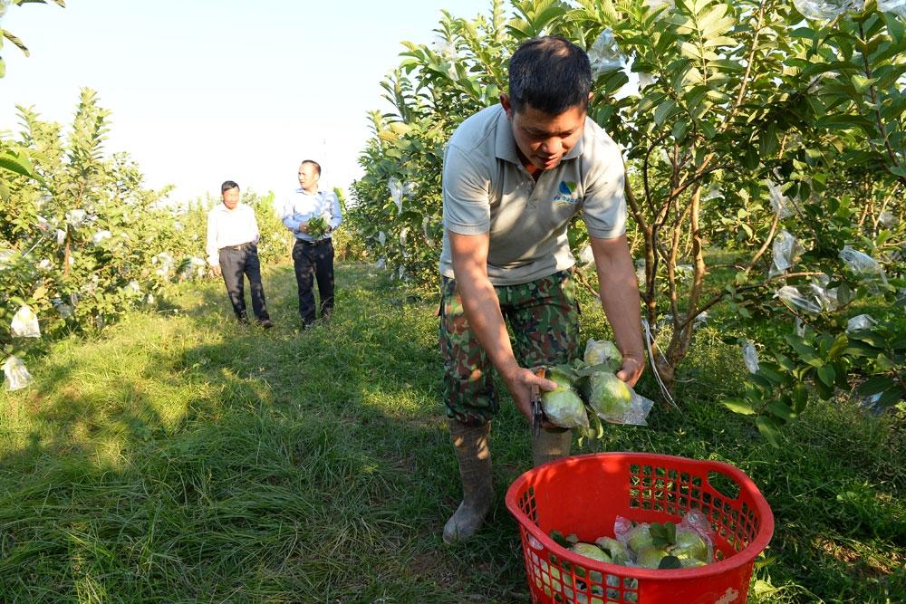 Nhờ thâm canh ổi Thái Lan, mỗi năm hộ anh Phạm Văn Tuấn, thôn Tân Tiến, Chi HND nghề nghiệp trồng cây ăn quả xã Đông Phú thu về gần 200 triệu đồng/năm