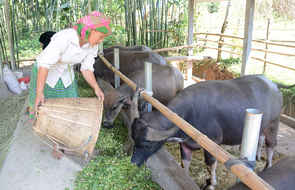 Chị Giàng Thị Phay, thôn Tiên Tốc, xã Bình An (Lâm Bình) chăm sóc đàn trâu của gia đình