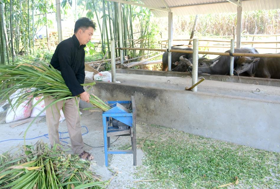 Chăn nuôi trâu, bò vỗ béo là hướng phát triển kinh tế chính của người dân thôn Tiên Tốc, xã Bình An (Lâm Bình)