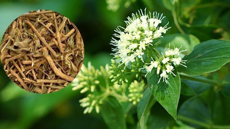 Dạ cẩm là vị thuốc quan trọng trong y học cổ truyền Việt Nam.