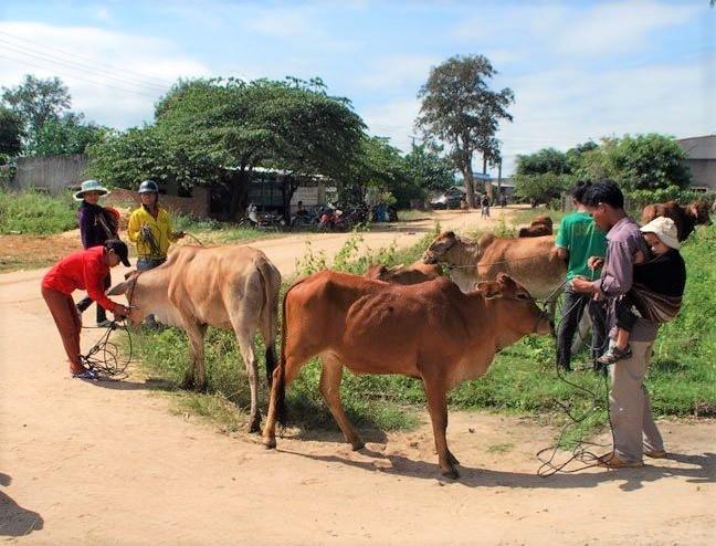 Các hộ thành viên trong Tổ chăn nuôi bò tại buôn Hiao luân phiên nhau chăn thả, trông coi đàn bò