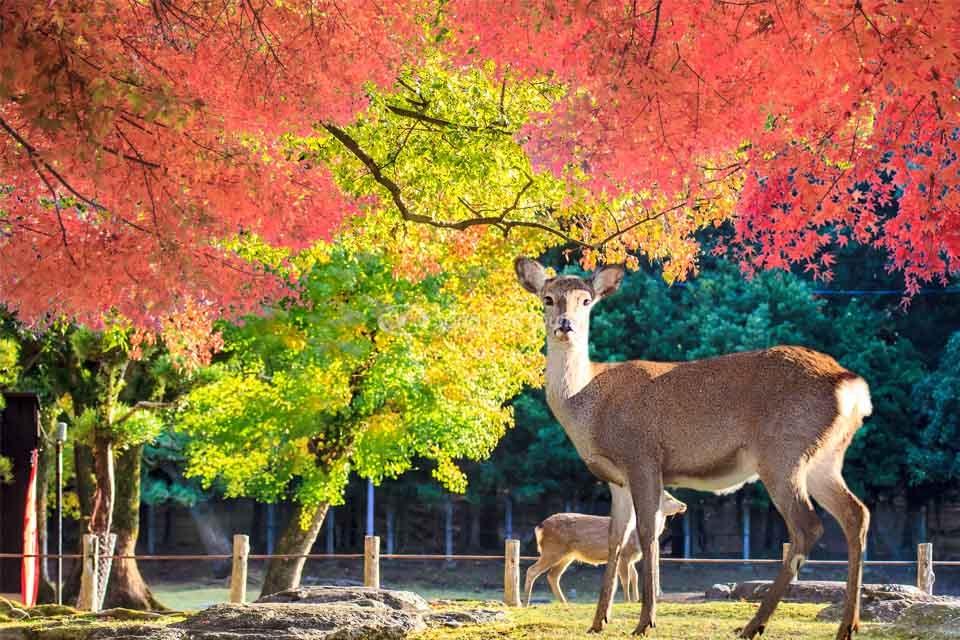 Những chú hươu trong Công viên Nara