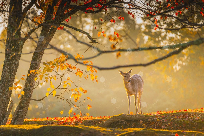 """""""Hươu Nara"""" đã được công nhận là di sản thiên nhiên quốc gia của Nhật Bản"""
