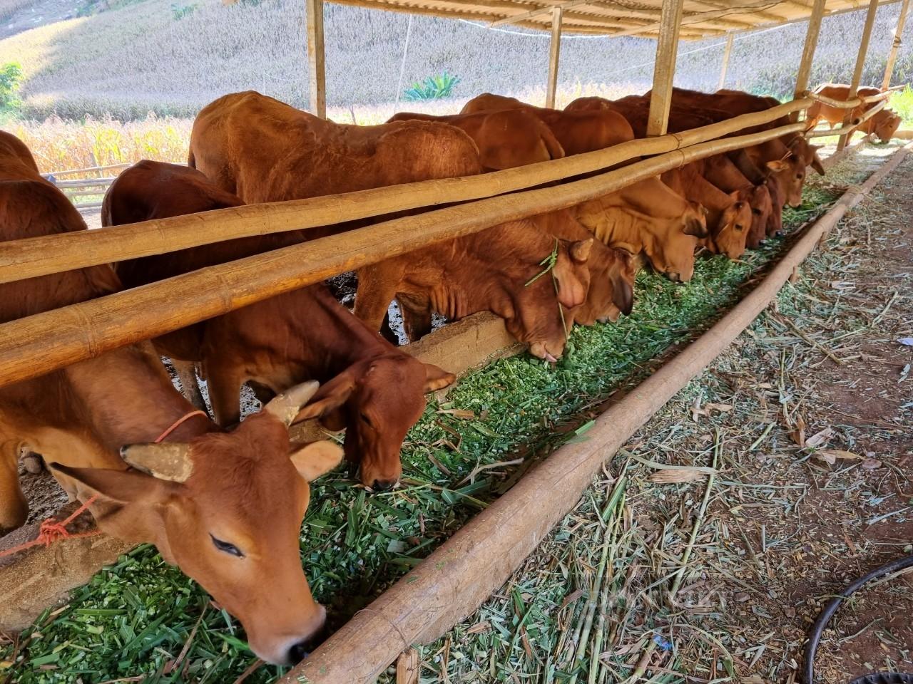 Đàn bò lai Sind của anh Dạy đang sinh trưởng và phát triển tốt. Ảnh: Mùa Xuân.