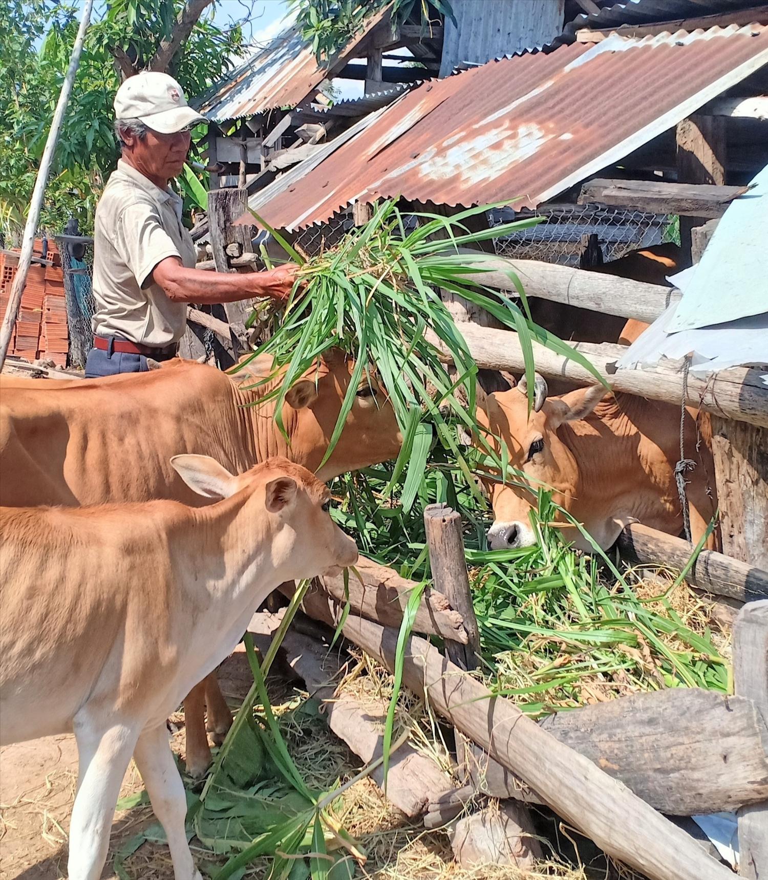 Già làng Ksor Weo, Bí thư Chi bộ bôn Hiao, thành viên Tổ chăn nuôi chủ động chăm sóc đàn bò trong mùa vụ