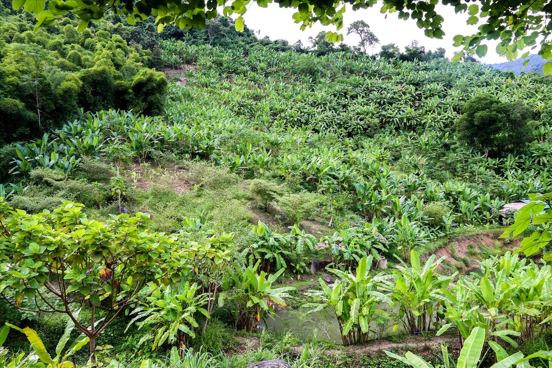 Đồi chuối lấy lá của gia đình bà Vi Thị Mai ở bản Khe Kiền rộng khoảng 3,5ha