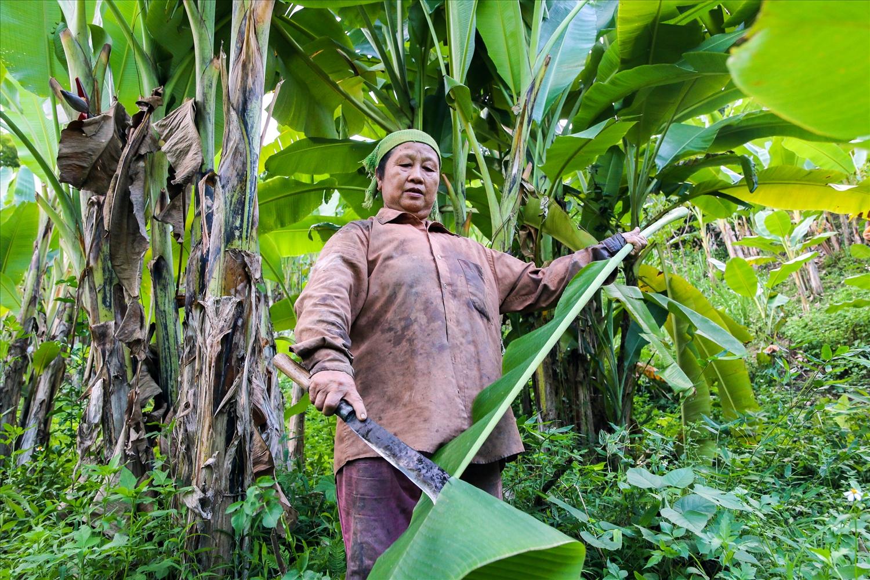 Bà Mai thu hái lá chuối để cung cấp cho thương lái
