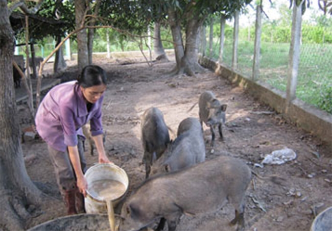 Từ nguồn vốn nhận ủy thác của Hội LHPN huyện Sơn Hòa, nhiều hội viên phụ nữ đã phát triển chăn nuôi, trồng trọt và thoát nghèo