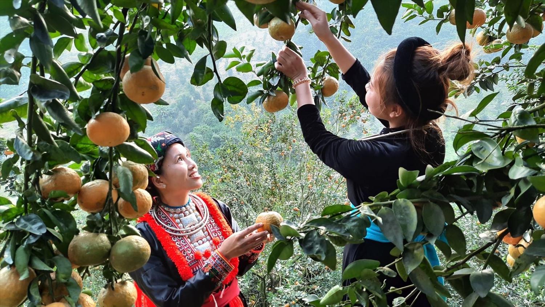 Cam sành Hàm Yên là một trong những cây trồng chủ lực giúp nhiều người dân địa phương vươn lên thoát nghèo, ổn định cuộc sống. Ảnh: INT