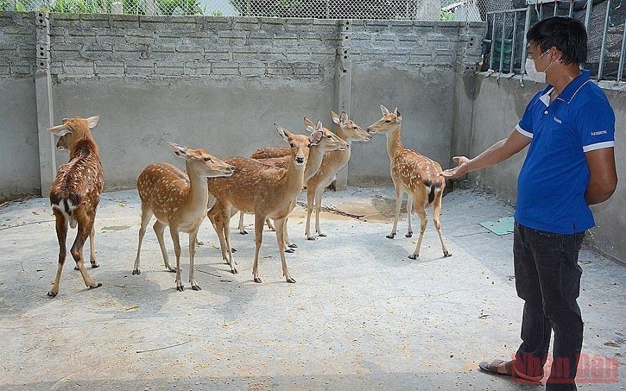 Anh Ngô Xuân Yên, thôn Tiền Phong, xã Minh Quân, huyện Trấn Yên (Yên Bái) nuôi 12 con hươu cho hiệu quả kinh tế cao. (Ảnh: THANH SƠN)