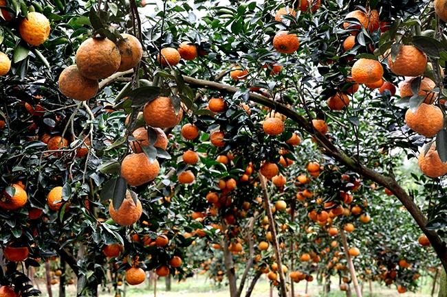 Niên vụ 2021-2022, Hàm Yên có hơn 7,200ha trồng cam, dự kiến cho sản lượng 84.000 tấn.