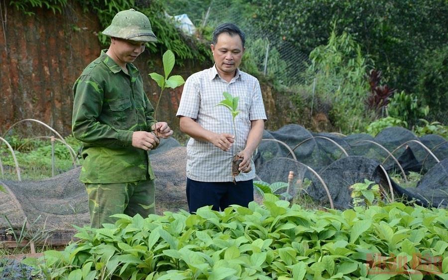Anh Hà Đình Khuê, xã Hồng Ca, huyện Trấn Yên (Yên Bái) giới thiệu cây gáo vàng giống tại vườn ươm. (Ảnh: THANH SƠN)