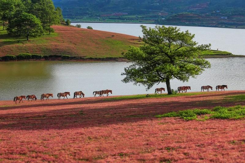Đồi cỏ lau đỏ ở khu vực Hồ Tuyền Lâm trông như một bức tranh
