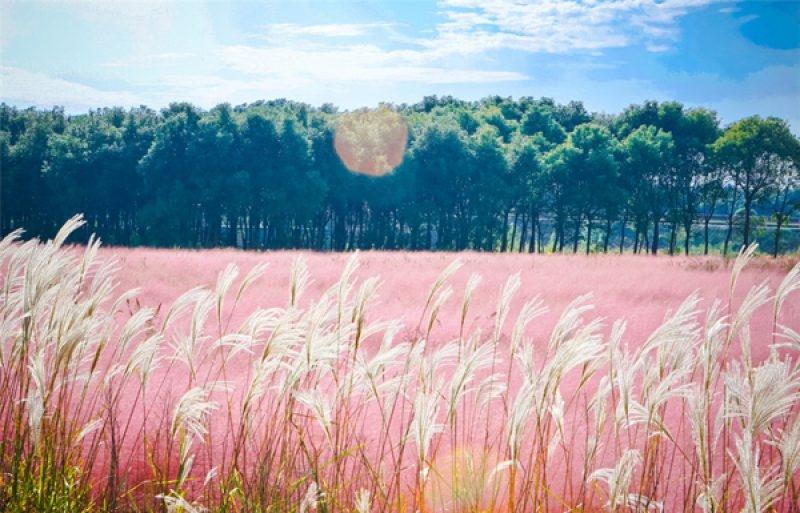 Cỏ hồng với trời xanh tạo nên một khung cảnh thật bình yên