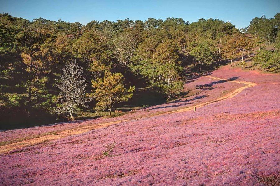 Đồi cỏ hồng Đà Lạt thường xuất hiện và rộ lên trong khoảng từ cuối tháng 10 đến cuối tháng 11