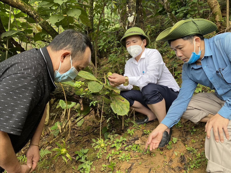 Chủ tịch UBND huyện Kỳ Sơn Nguyễn Hữu Minh (giữa) kiểm tra vườn sâm quý