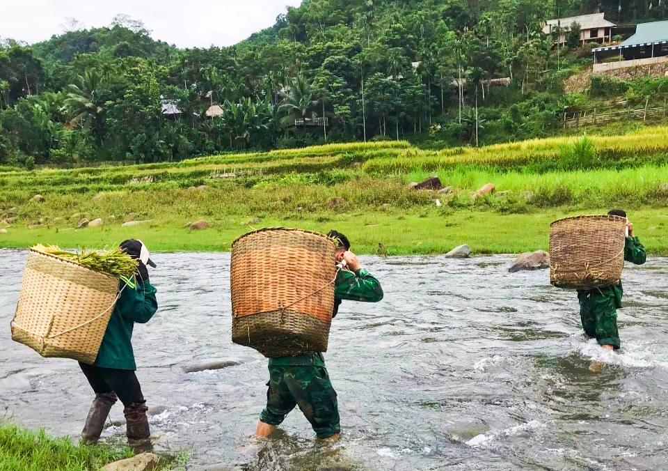 Bộ đội biên phòng Thanh Hóa giúp dân thu hoạch lúa tránh bão 2